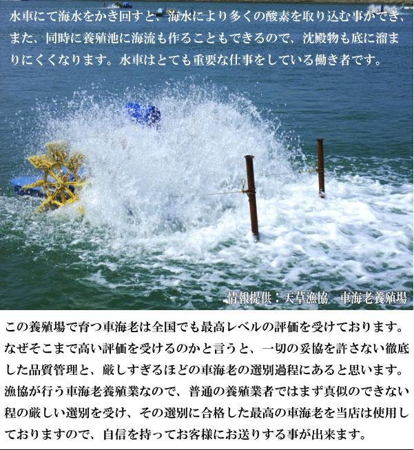 車えび成長日記!